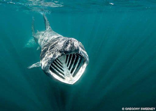 Lo squalo elefante