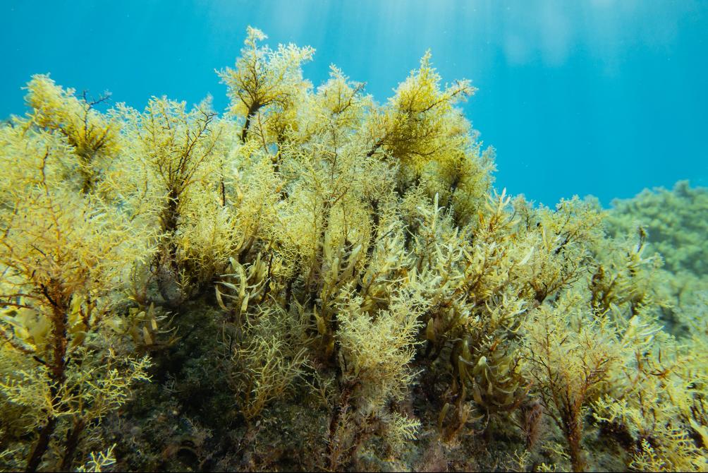 Cilento, per gli esperti le foreste di alga Cystoseira sono «in ottimo stato»