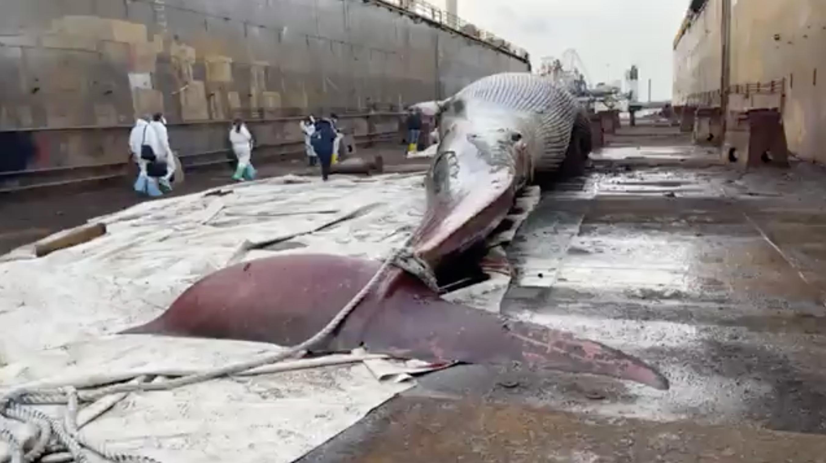 La balena morta a Sorrento è la più grande mai trovata nel Mediterraneo