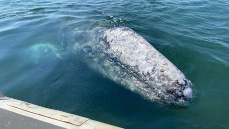 Balena grigia avvistata a Sorrento: come comportarsi