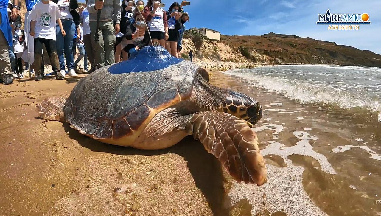 Punta Bianca, la tartaruga Onda torna a nuotare nel suo mare