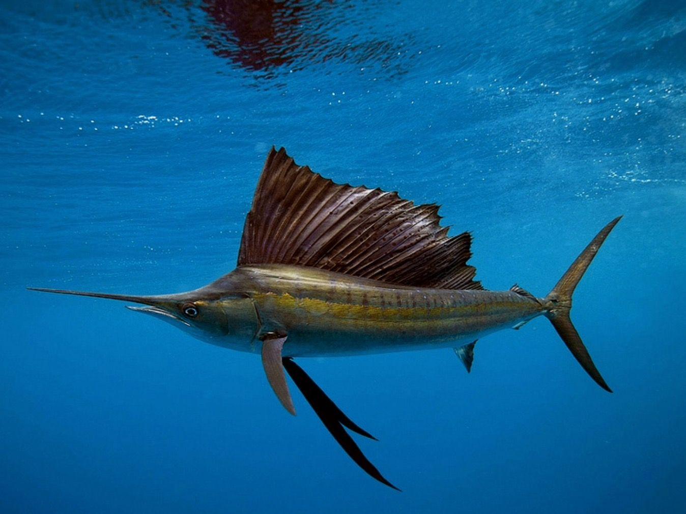 Qual è il pesce più veloce del mondo?