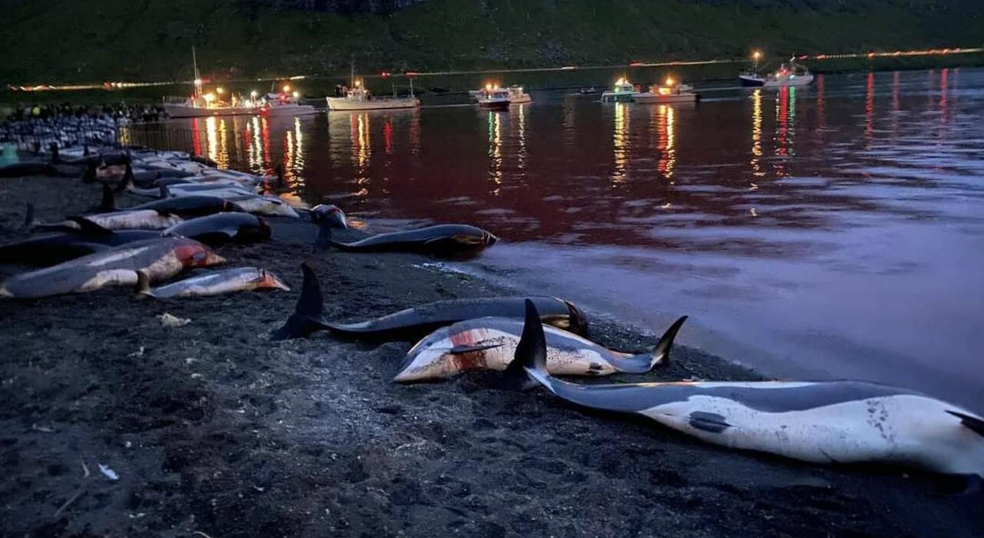 Alle Isole Faroe sono stati uccisi 1428 delfini. «La più grande mattanza della storia faroese»